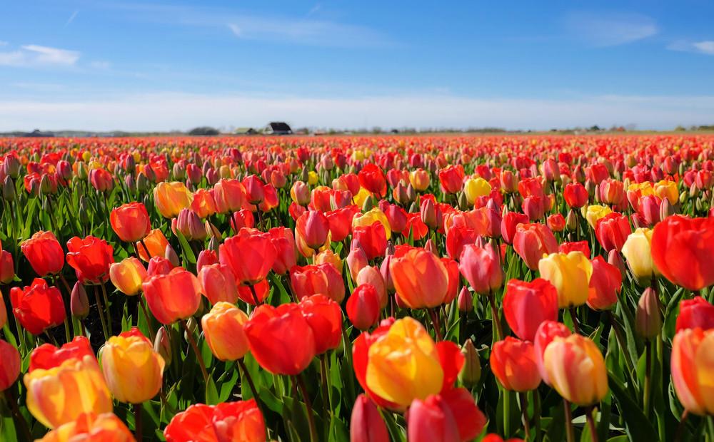 замужества картинка гиф поле тюльпанов признан самым